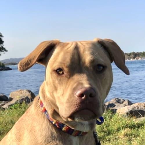 Rocky ~ 10 month old Mastiff x - Mastiff Dog