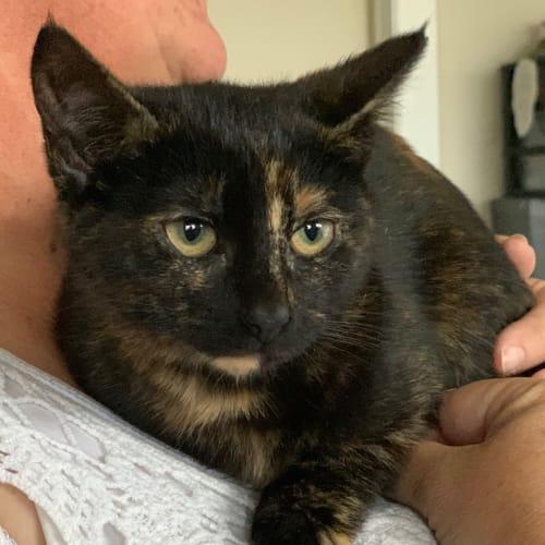 Cleo 🥰️ - Domestic Short Hair Cat