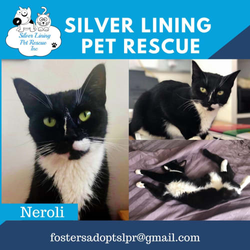 Neroli  - Domestic Short Hair Cat