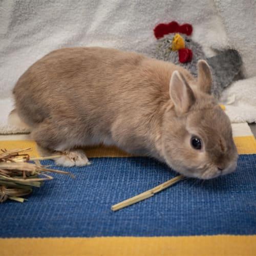 Errol - Dwarf Rabbit