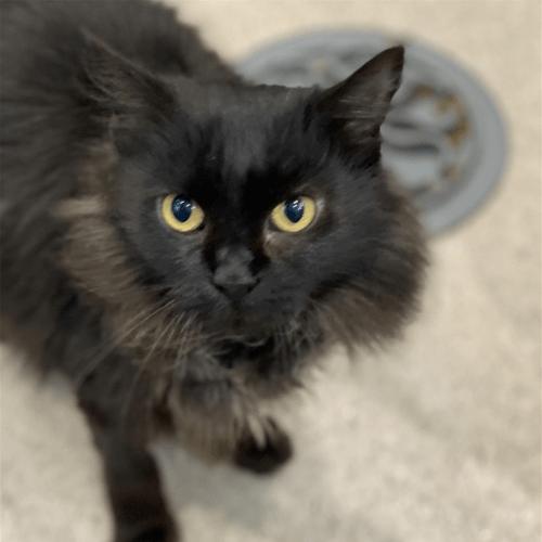 Taz - Domestic Medium Hair Cat