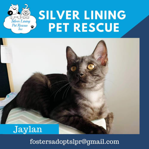 Jaylan - Domestic Short Hair Cat