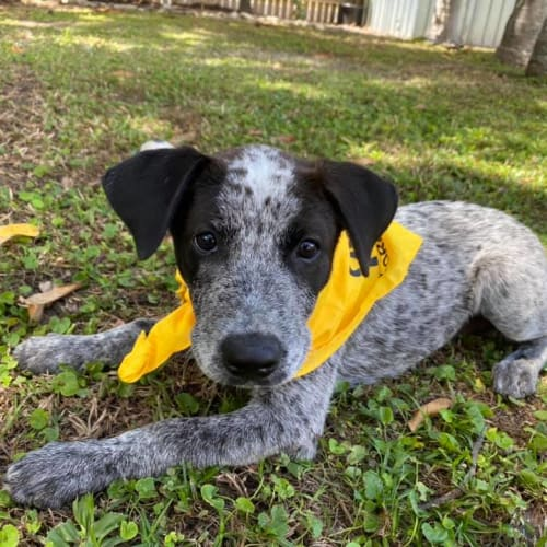Lulu - Australian Cattle Dog