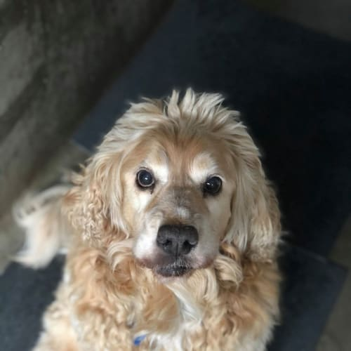 Chaster - Cocker Spaniel, American Dog