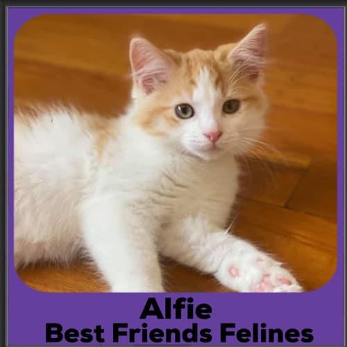 Alfie - Domestic Long Hair Cat