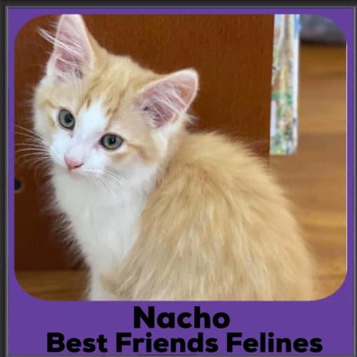 Nacho  - Domestic Long Hair Cat