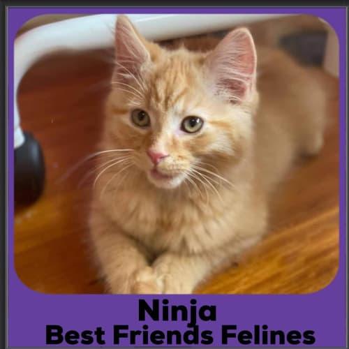 Ninja - Domestic Long Hair Cat