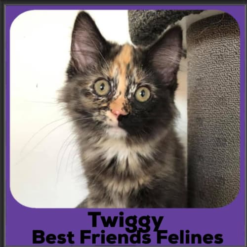 Twiggy  - Domestic Medium Hair Cat