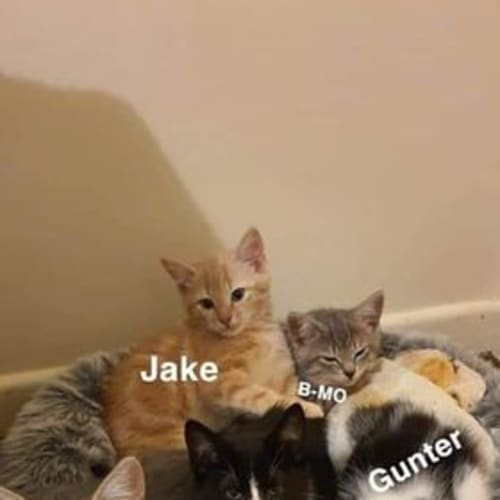 Gunter - Domestic Short Hair Cat