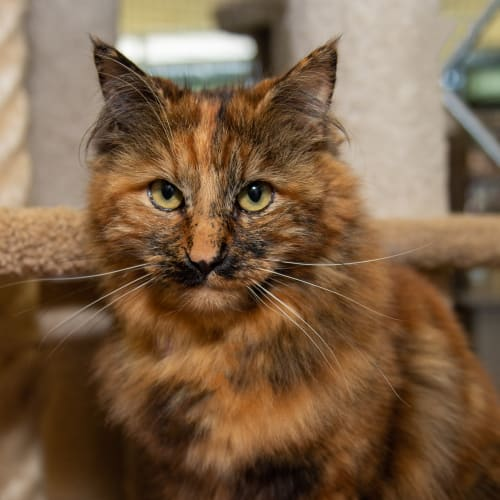Mocha - Visit me at PETstock Brighton! - Domestic Long Hair Cat