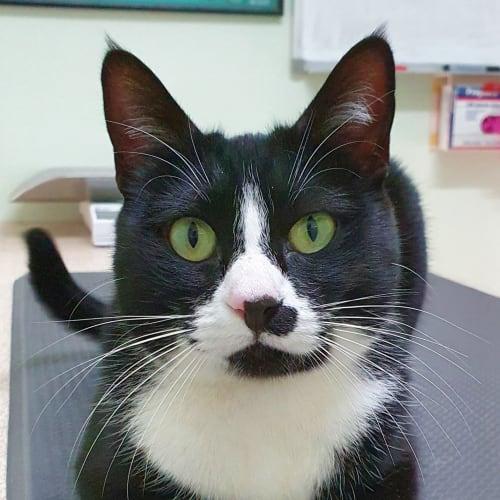 Morgan - Burmese Cat