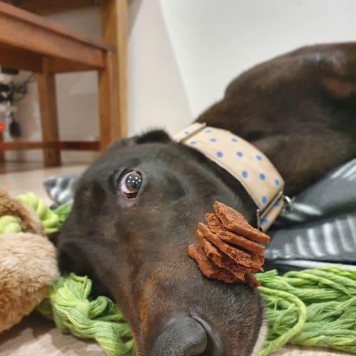 Storm - Greyhound Dog