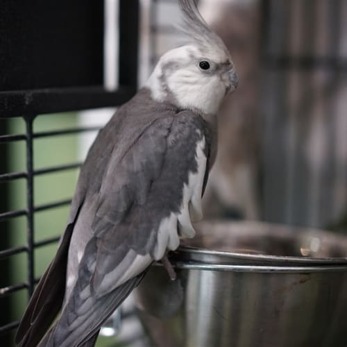 Kudo - Cockatiel Bird