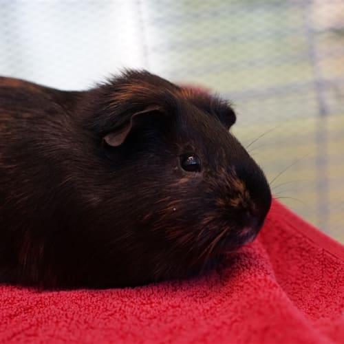 Fluffy - Smooth Hair Guinea Pig