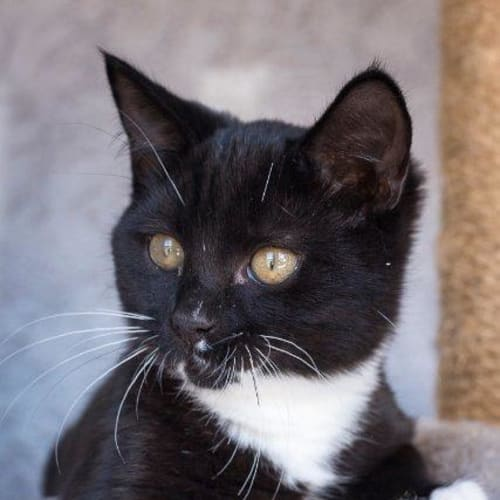 Fonzie - Domestic Short Hair Cat