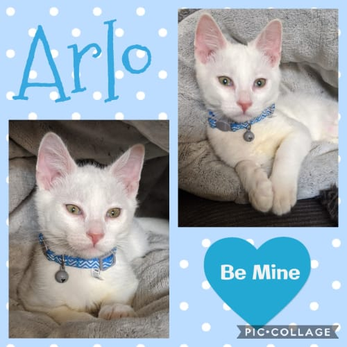 Arlo - Domestic Short Hair Cat