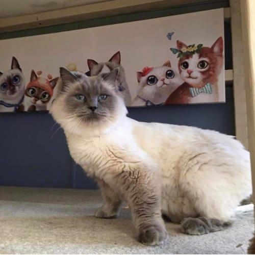 Bruce - Ragdoll Cat