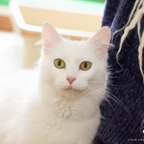 Aspen - Domestic Medium Hair Cat