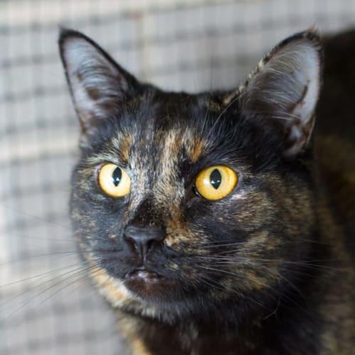 Ruth - Domestic Short Hair Cat