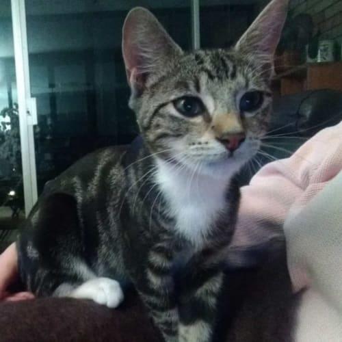 Ferris - Domestic Short Hair Cat