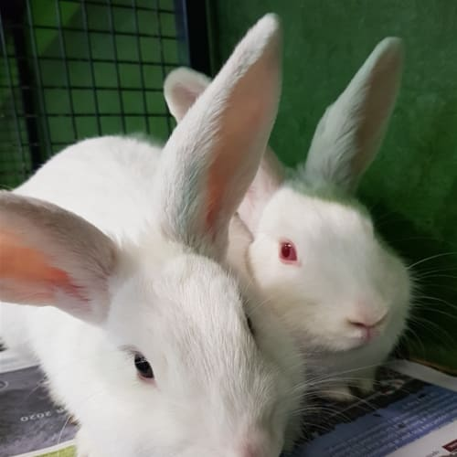Avicii (bonded Pair With Marshmellow) - Rabbit   Unspecified Rabbit
