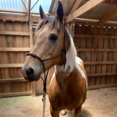 Delilah - Paint/Pinto Horse