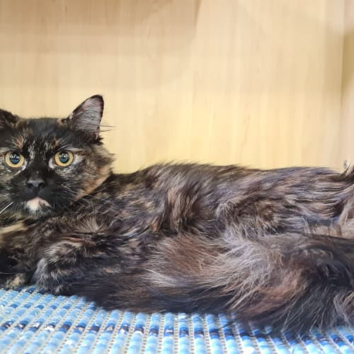 Pickles - Domestic Medium Hair Cat