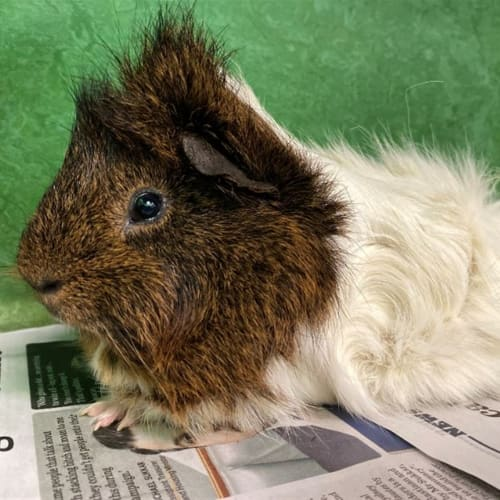 Sideshow Bob - Peruvian (Long Haired) Guinea Pig