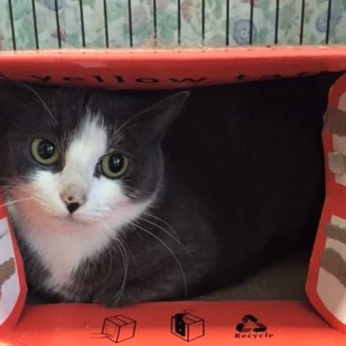 Lucia - Domestic Short Hair Cat