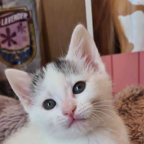 Pearl - Domestic Short Hair Cat