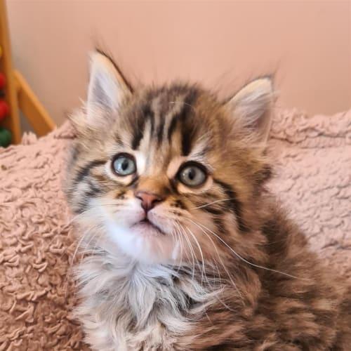 Abbie  - Domestic Medium Hair Cat