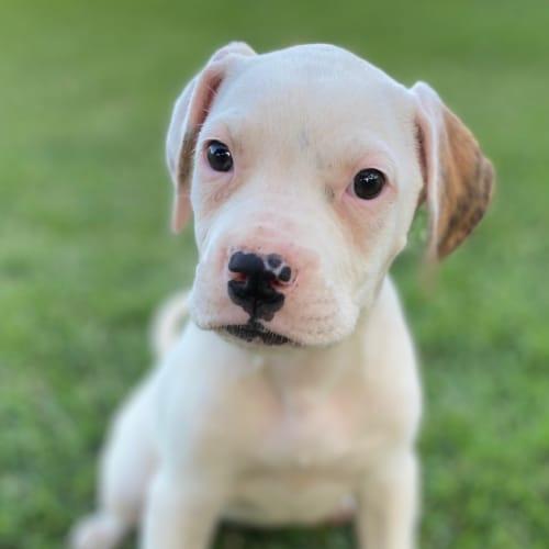 Adie  - Labrador Dog