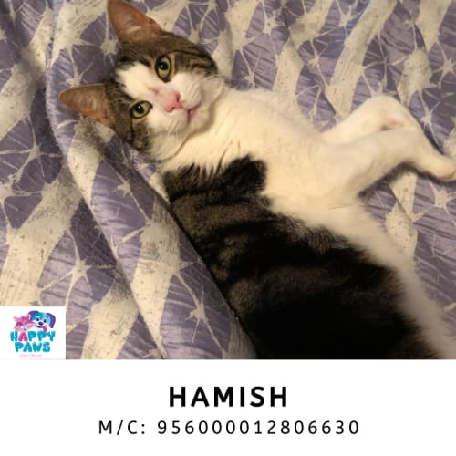 Hamish - Domestic Short Hair Cat
