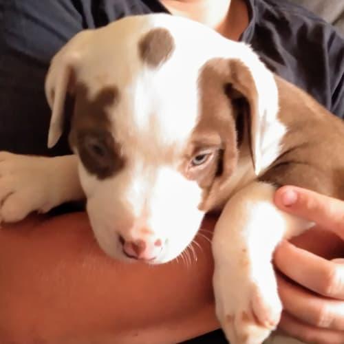 Choc - Bullmastiff Dog
