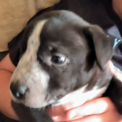 Ebony - Bullmastiff Dog