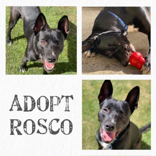 Rosco - Kelpie Dog