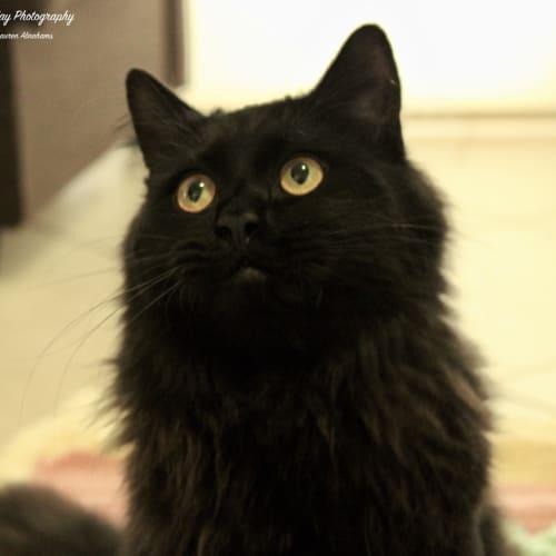 3604 - Taako - Domestic Medium Hair Cat