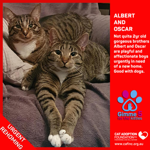 Albert and Oscar - Domestic Short Hair Cat