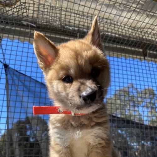 Bella - Dingo - Dingo Dog