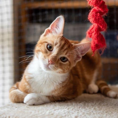 3586 - Sid - Domestic Short Hair Cat