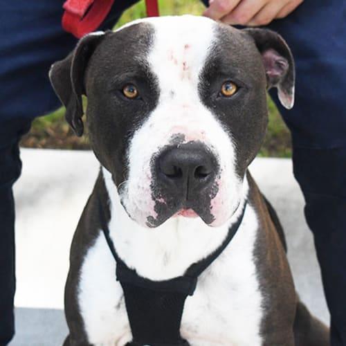 Bryson 32988 Campbelltown ACF - Mastiff Dog