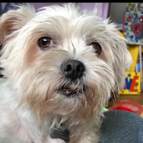 Rosie and Lillie - Maltese Dog