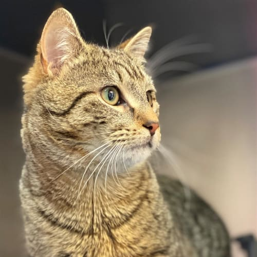 August - Domestic Short Hair Cat