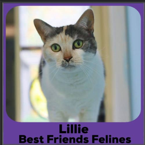 Lillie - Domestic Short Hair Cat