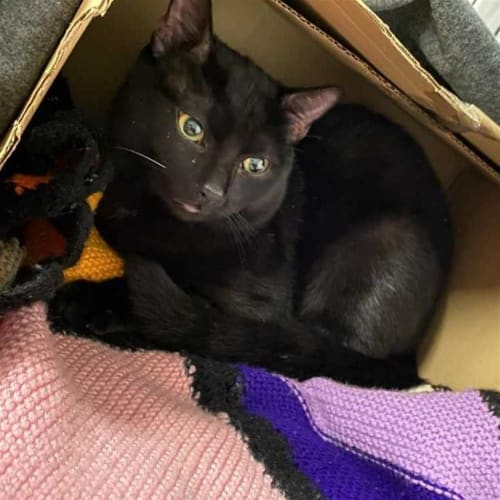 Slinky - Domestic Short Hair Cat