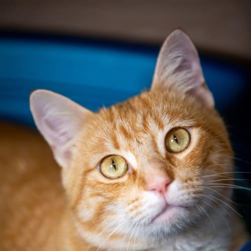 Tumble - Domestic Short Hair Cat