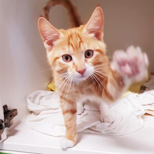 Zucco - Domestic Short Hair Cat