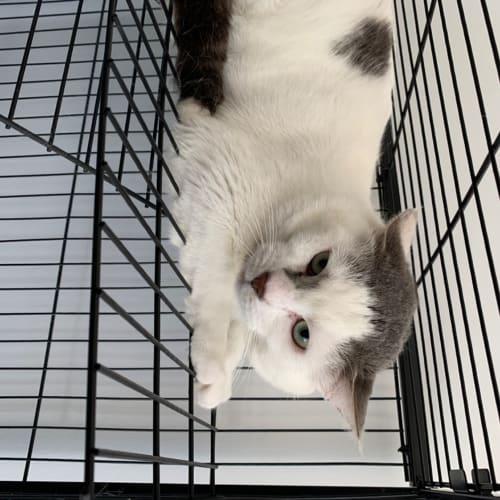 Taro - Domestic Short Hair Cat