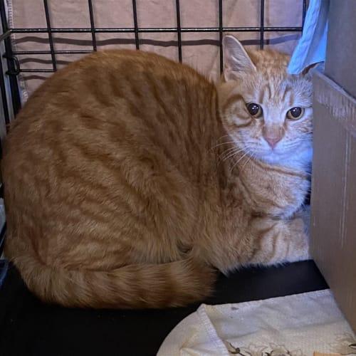 Winifred - Domestic Short Hair Cat