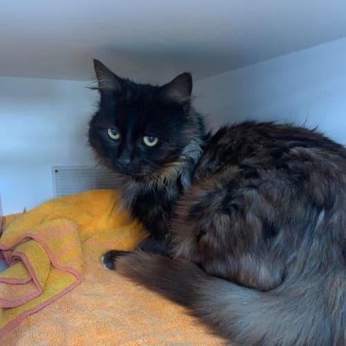 Dice - Domestic Medium Hair Cat